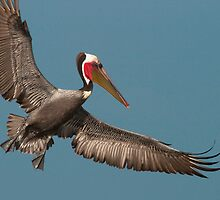California Brown Pelican With Stretched Wings by Ram Vasudev