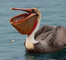 Feasting Brown Pelican  by Ram Vasudev