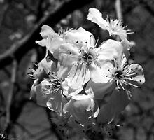 BLOSSOMS (2) by Sandra  Aguirre