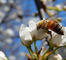 HONEY BEE ON A BLOSSOM by Sandra  Aguirre
