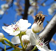 HONEY BEE ON A BLOSSOM (6) by Sandra  Aguirre