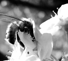 HONEY BEE ON A BLOSSOM (12) by Sandra  Aguirre