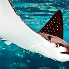 Spotted eagle ray by David Wachenfeld