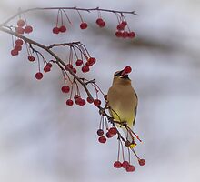 Cedar Waxwing Eating Berries 3 by Thomas Young