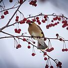 Cedar Waxwing Eating Berries 4 by Thomas Young