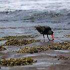 Sooty Oystercatcher With Food by reflector