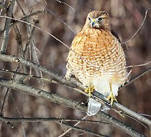Red-Shouldered Hawk by Bill Wakeley