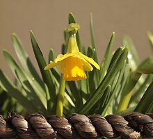 Daff in hanging basket by MagsArt