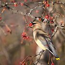 Cedar Waxwing Eating Berries 6 by Thomas Young
