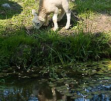 Cute Little Lamb, Reflected by Georgia Mizuleva