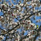 Flowers of the Almond Tree by Nira Dabush