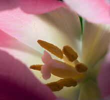 TULIP ABSTRACT by paulasphotos101