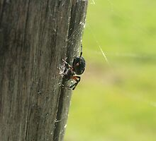 Orb Weaver Spider on a Post by rhamm