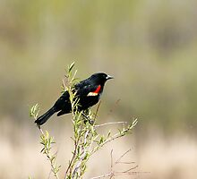 Red Winged Blackbird in a Marsh by rhamm