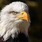 Bald Eagle Portrait by Mark Hughes