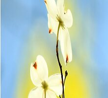 Spring Dogwood Blossoms by NatureGreeting Cards ©ccwri