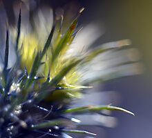 Sea Holly by VallyDalPra