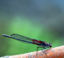 American Rubyspot by Bill Morgenstern