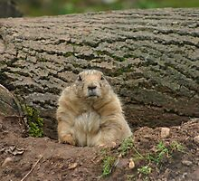 Prairie Dog by John Messingham
