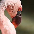Flamingo by chris2766