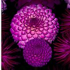 Purple Dahlia flowers by Martyn Franklin