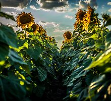 Sunflower Afternoon by Rose Hamilton-Barr