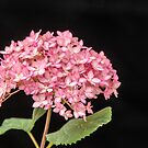 Pink Hydrangea - 1 by mcstory