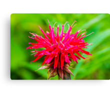 Bee Balm - Red Canvas Print