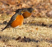 Robin Red Breast, Singing The Announcement Of Spring. by NatureGreeting Cards ©ccwri