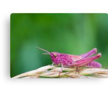 Pink Grasshopper Canvas Print