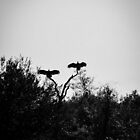 Vultures sunning their wings by jenbucheli