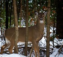 Healthy Whitetail by Nazareth