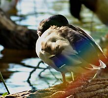 sleeping duck  by hollihogemark