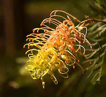 Grevillea Flower by Anna Calvert