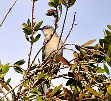 MOCKINGBIRD HIGH IN THE PYRACANTHA TREE by JAYMILO