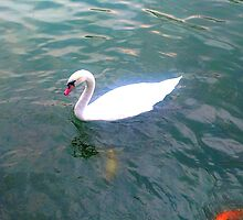 swan by kindmind