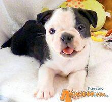 Boston Terrier Puppies by Bostonterrier