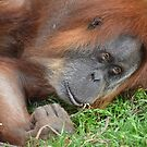 Orangutan Lounging by Kate Farkas