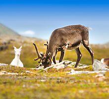 Reindeer in Norway by Sandra Kemppainen