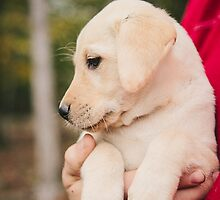 Playful and active Yellow Female Lab Puppy by blackgaplabs