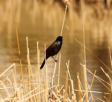 Common Grackle on Marsh Grass by rhamm