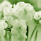 White narcissus in a green spring by 7horses