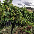 Mudgee Vineyard by yolanda