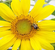 sunflower with a visitor by reichert3