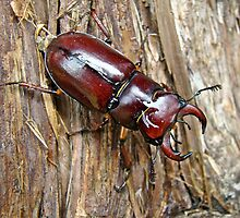 Reddish-brown Stag Beetle - Lucanus capreolus by MotherNature