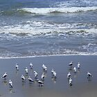 Birds at Brooms Head Beach by myraj