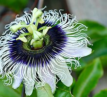 Passionfruit Flower by Stuart Blythe