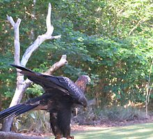 'HOW DO YOU LIKE MY PANTALOONS!' Wedge tailed Eagle, Darwin. N.T.  by Rita Blom