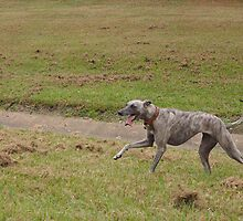 Coco - Whippet 2yrs by Tripod-Dog
