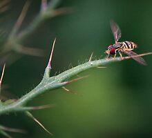 Hoverfly Landing by David Lamb